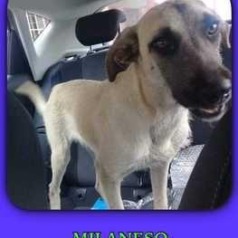 Milaneso el perro ladron es detenido, pero se escapa y sigue sus crimenes
